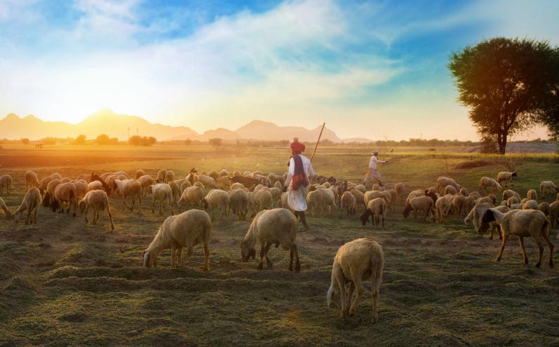 Пастух на пастбище, овцы