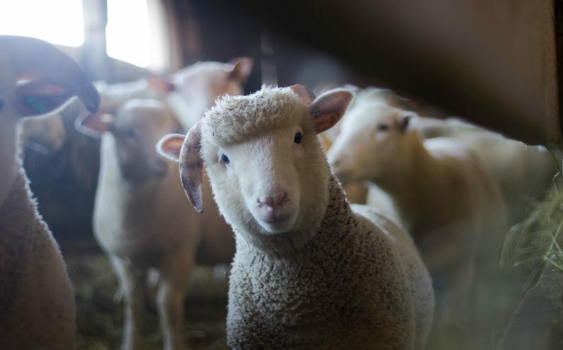 Белые овцы в хлеву