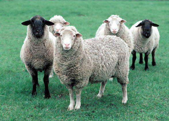 Черные и белые овцы