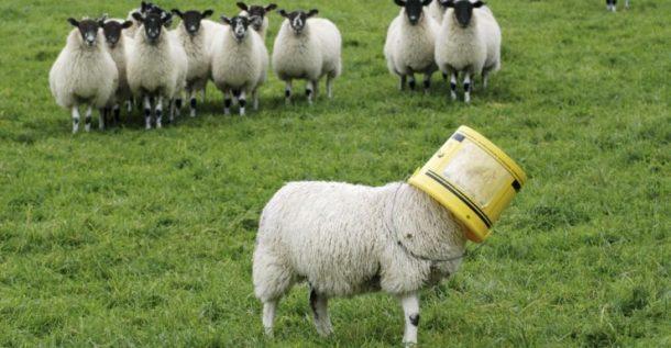 Овца с ведром на голове