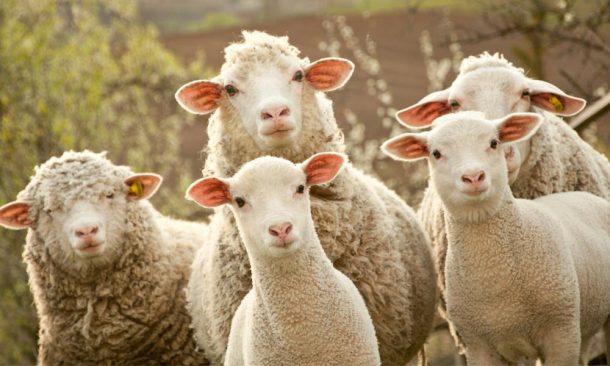 Внимательные овцы