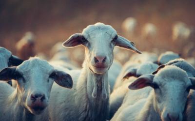 Как отделить овец от козлов? Мы все — овцы
