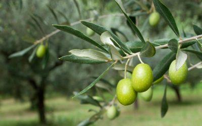 Аллегория о маслине: как Бог спасает непослушных детей